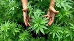 La marihuana tiene derivados de uso medicinal que no generan adicción. (USI)