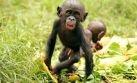Bonobos, una especie de simios que prefiere compartir su comida con desconocidos