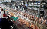 Precio del kilo de pollo subió 20% en octubre, según Minagri