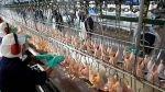 Precio del kilo de pollo subió 20% en octubre, según Minagri - Noticias de juan pablo klingenberger