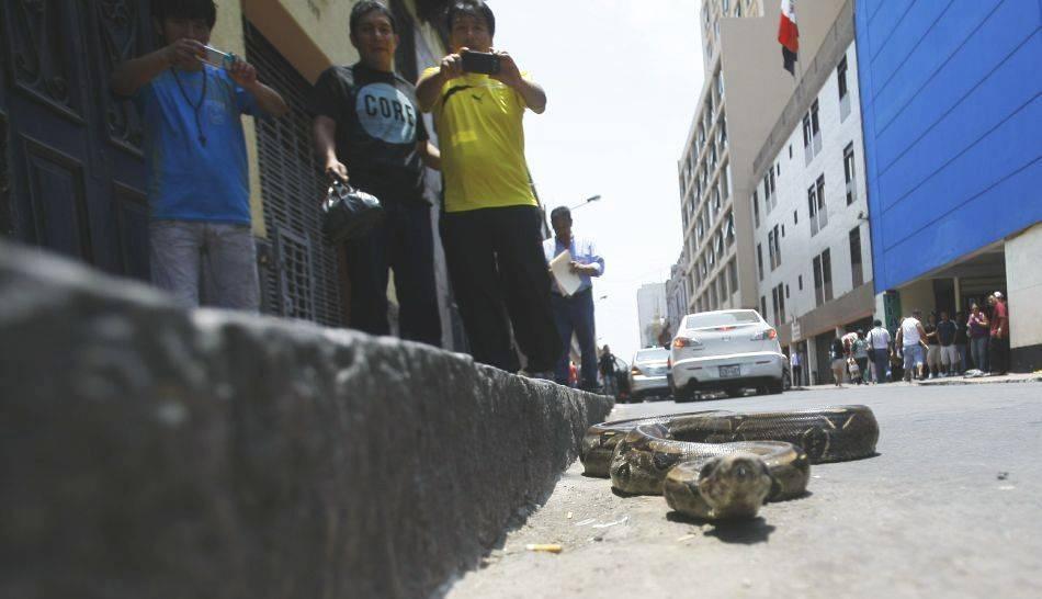 FOTOS: dos serpientes pitón en plena calle sorprendieron a peatones en el centro de Lima