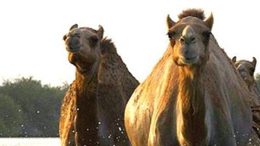 Científicos dicen que hubo camellos en el Ártico