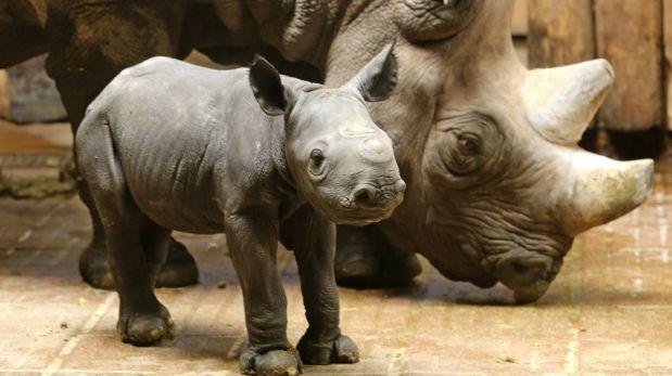 FOTOS: nace bebe de rinoceronte en peligro de extinción | Planeta ...