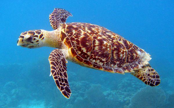 Miles de tortugas llegan para anidar en playas de Nicaragua