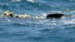 Ballena quedó atrapada con red de pesca en el norte del país y es probable que muera - Noticias de contraalmirante villar