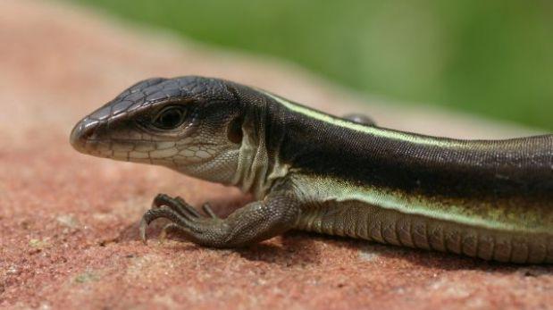 Dos nuevas especies de reptiles fueron descubiertas en bosque seco del río Marañón