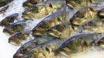 Produce limita pesca de jurel a 100.000 toneladas para el 2017 - Noticias de recurso humano