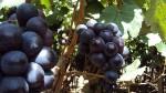 Exportaciones de uva peruana alcanzarán nuevo récord en 2015 - Noticias de alto piura