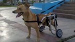 Perro que usa silla de ruedas desapareció en el Centro de Lima - Noticias de maribel moreno