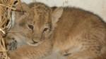 Este leoncito es el nuevo inquilino del zoológico de Huancayo - Noticias de dimas aliaga