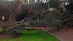 San Isidro: antiguo árbol de El Olivar cayó esta madrugada - Noticias de felix olivares