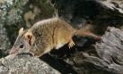 Descubren un marsupial con un frenético hábito reproductivo