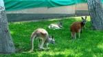 Parque de las Leyendas: canguros rojos son la nueva atracción - Noticias de max murillo