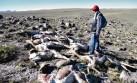 La caza furtiva y las sequías afectan a la población de vicuñas