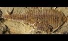 Hallan fósil similar a un camarón de hace 520 millones de años
