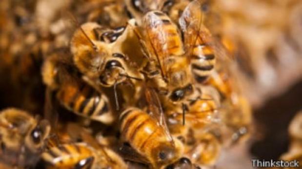 ¿Dónde duele más la picadura de una abeja?
