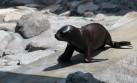 Parque de las Leyendas: lobita de mar es la nueva atracción