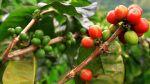 Lluvias prolongadas afectan la producción del café y la quinua - Noticias de quinua