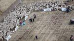 Reserva de alpacas fue inaugurada en Puno - Noticias de fibra de alpaca