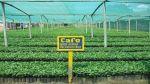 Se plantaron 17 mil 803 hectáreas de café resistente a la roya - Noticias de provincia de chanchamayo