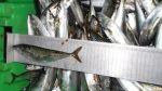Incautan tres toneladas de caballa en Sullana - Noticias de incautaciones