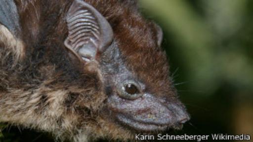 El murciélago de sacos combina secreciones para crear aromas.