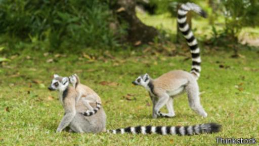 Los lémures de cola anillada se baten en