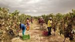 La escasez de agua amenaza a la agroexportación en Ica - Noticias de jorge chepote