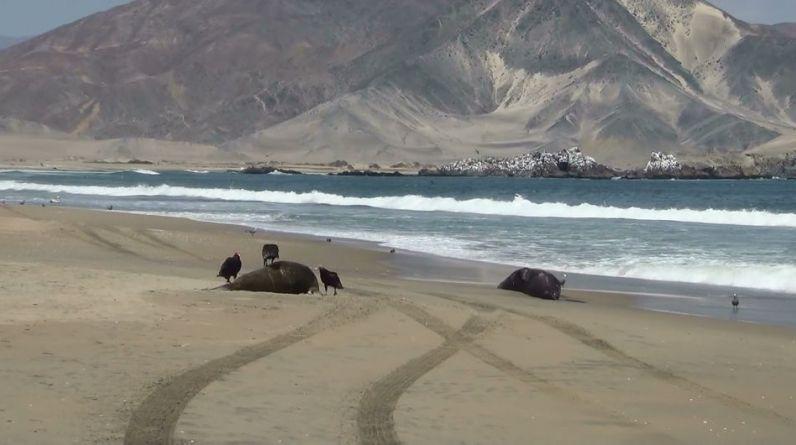 La muerte de especies de fauna marina continúa en el litoral peruano. Esta vez aparecieron animales sin vida en Nuevo Chimbote, Áncash. (Foto: Difusión)