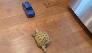 VIDEO: Tortuga se pelea con auto a control remoto