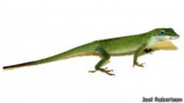 ¿Cómo le crece la cola a las lagartijas cuando la pierden?