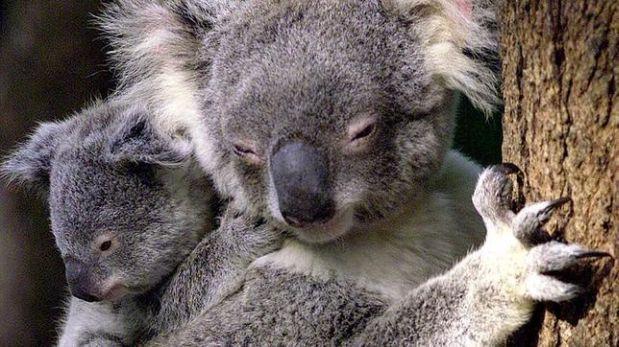 Salvan a un koala haciéndole respiración boca a boca [VIDEO]