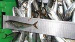 Incautan más de 38 toneladas de pescados en talla juvenil - Noticias de lambayeque
