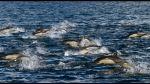 Japón inicia temporada de caza de delfines pese a críticas - Noticias de matanza de delfines
