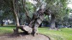 San Isidro: 3.686 árboles fueron registrados y clasificados - Noticias de accidente