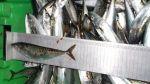 Decomisan 5 toneladas de pescado con talla menor a la permitida - Noticias de lambayeque