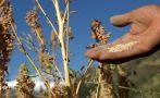 Perú es el primer productor mundial de quinua