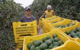 """ÁDEX: """"Perú es el cuarto exportador mundial de paltas"""""""