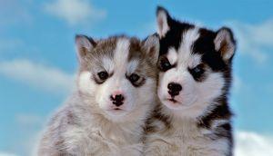 De lobo a perro: Conoce su temperamento y su evolución