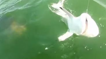Un pez se comió de un solo bocado a un tiburón en EE.UU.