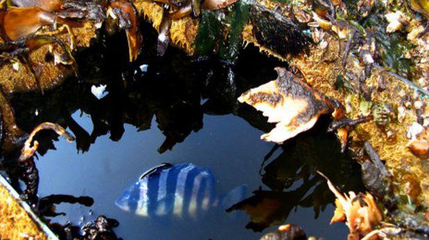 El pez durante su extraña travesía. (Foto: Washington Department of Fish and Wildlife)