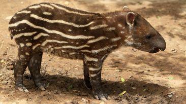Tapir bebe fue bautizado en el Parque de las Leyendas [Fotos]