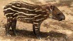 Tapir bebe fue bautizado en el Parque de las Leyendas [Fotos] - Noticias de
