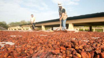 Exportación de cacao será de US$160 millones este año