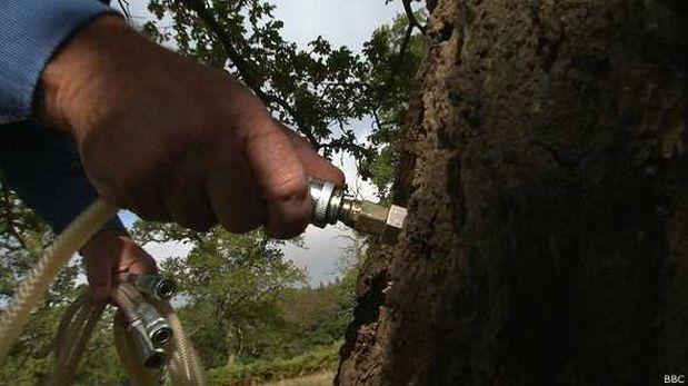 Inyecciones de ajo para salvar árboles enfermos
