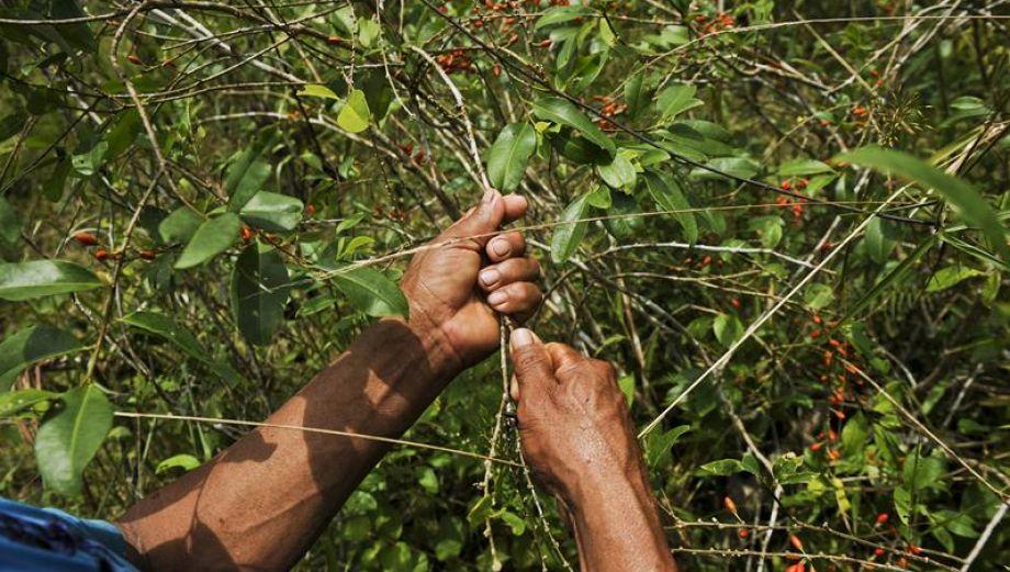 Vértigo en el trapecio amazónico