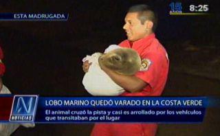Pequeño lobo marino fue rescatado en Costa Verde de Miraflores