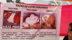 ¿Sabes cuántos cuyes hay en el Perú? - Noticias de municipalidad de arequipa