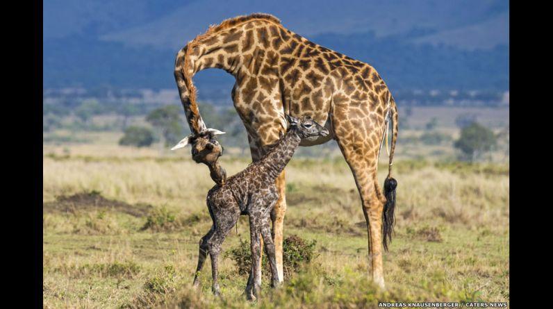 Andreas Knausenberger capturó con su cámara el nacimiento y los primeros pasos de una jirafa bebé en el parque nacional Masai Mara, en Kenia.