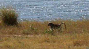 Robinson, el babuino más solitario del mundo